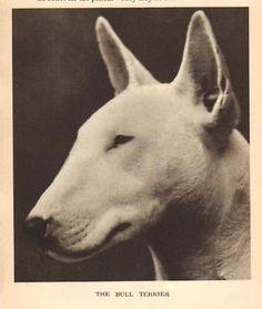 Bull Terrier 1931 Vintage Dog Print