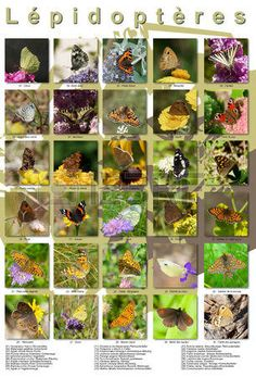 Pictures collage of butterflies in europa. List 1