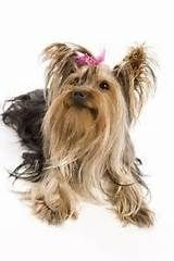 Yorkie Hair Tips | Dog Breeds