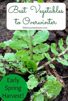 Best Vegetables to Overwinter for an Early Spring Harvest