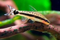 What is the best algae eater? A lot of people ask this question and it can be difficult to answer. I think that there is no single algae eater that can be considered as the best one because there are several elements that need to be considered. For instance, the type of community is a ... Read more