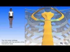 The sternum - YouTube Muscle Anatomy, Youtube, 3d, Bones, Anatomy, Youtubers, Youtube Movies