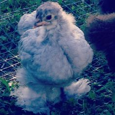 Blue, our Blue Cochin Chicken at 4 weeks