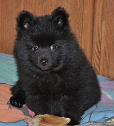 Fluff Schipperke pup