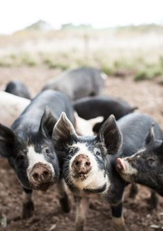 Farm Animals, Animals And Pets, Funny Animals, Cute Animals, Beautiful Creatures, Animals Beautiful, What Katie Ate, Photo Animaliere, Mini Pigs