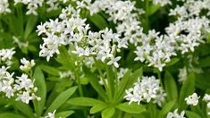 Sweet woodruff produces a mat of fragrant, star-shaped leaves. Try using it as a groundcover for shady borders in your garden. Garden Bulbs, Shade Garden, Garden Plants, Green Garden, Easy Herbs To Grow, Sweet Woodruff, Growing Herbs Indoors, Small White Flowers, Shade Flowers