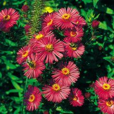 Pflanzen-Kölle Raublatt-Aster 'Alma Pötschke' rot, 11 cm Topf.  Die leuchtend roten Blüten dieser winterharten, pflegeleichten Prachtstaude bilden einen unvergleichlichen Höhepunkt im spätsommerlichen Garten.