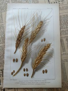 1900 vintage antique print of wheat