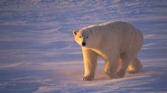 Arctic Animals Theme activities fro Preschool, Pre-K and Kindergarten Bears Preschool, Preschool Letters, Preschool Curriculum, Kindergarten, Polar Bears In Canada, Artic Animals, Polaroid, Bear Theme, Science For Kids