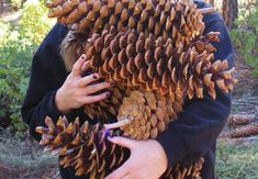www.themeditativegardener.blogspot.com The Meditative Gardener: Really Big Pine Cones