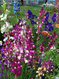 Full size picture of Toadflax, Baby Snapdragon 'Northern Lights' (Linaria maroccana)