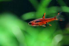 The Chili rasbora (Boraras brigittae), also known as the mosquito rasbora, is one of the smallest tropical fish in the aquarium hobby. Fish List, Aquarium Heater, Fish Breeding, Plant Covers, Freshwater Aquarium Fish, Moving Water, Two Fish, Aquatic Plants, Planted Aquarium