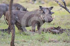 Photo about Warthog (Phacochoerus africanus), South Africa. Image of wild, walking, wildlife - 55843142 South Africa, Wildlife, Elephant, Southern, Horses, Stock Photos, Animals, Image, Animales
