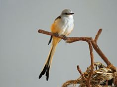 Scissortail Flycatcher  http://upload.wikimedia.org/wikipedia/commons/4/49/Scissor-tailed_Flycatcher_RWD7.jpg