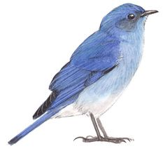 Step by step instructions on how to paint birds featuring a Mountain Bluebird.