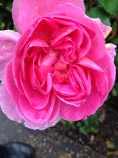 Rose i haven