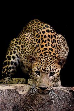 Photograph Leopard Stare by Prabu dennaga on 500px