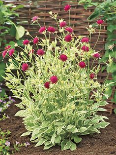 Knautia macedonia 'Thunder & Lightning' ... produces rich ruby red double flowers above light green and cream foliage to create a completely unique combination of colors.   The full and compact plants are great for the garden or for containers, and create interest all summer long.   Blooms early to late summer.