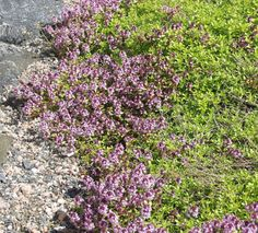 Thymus Serpyllum, Olympus Digital Camera, Paths, Lawn, Grass, Outdoor Decor, Flowers, Garden Ideas, Gardening
