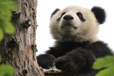 Panda Tree Master by Josef Gelernter on 500px