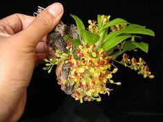 Oncidium coloratum 'Prolific'