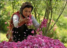 World famous Iranian Ghamsar-Kashan/Qamsar-Kashan Rose, Picture taken at Rose Flower Festival in Iran