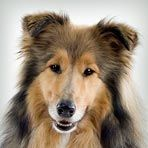Herding Dog Breeds    Non-existent in European registries, where most of these breeds are classified as working dogs, this group was created in 1983 by the AKC to honor what is one of the oldest of dog professions: herding livestock. The sheepdogs and cattle dogs of the world are here, including the much-loved collie breeds and those royal favorites, the corgis.