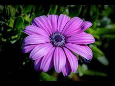 African Daisy sono disponibili in parecchi colori dalle originali tonalità bianco e viola al giallo, bronzo e bruciato di arancio.