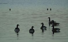 Six geese swimming