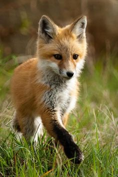 Baby fox presents a paw~