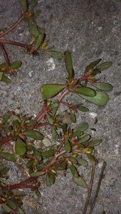 Skvělý léčivý plevel- šrucha zelná - Čarovná lékárna kolem nás Kraut, Lavender, Herbs, Healthy, Plants, Gardening, Medicine, Lawn And Garden