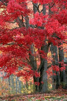 Wow! Incredible sturdy oak bursting with cardinal-red autumn leaves ❤️