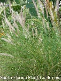 white fountain grass
