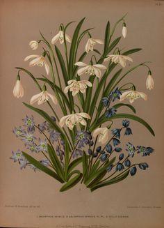 Galanthus nivalis and Scilla siberica - circa 1881