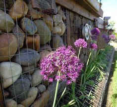 Gabion with allium my new favorite early flower, hope to have more next year June 18 2015