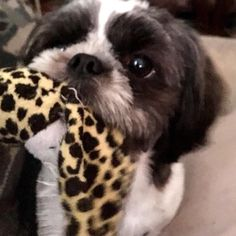 "Maudie the Shih tzu ""C'mon mom, no more pictures! It's toy time """