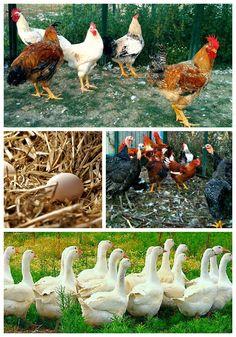 Le Marche nel Piatto: Il Pollo dell'Azienda del Carmine è afrodisiaco!