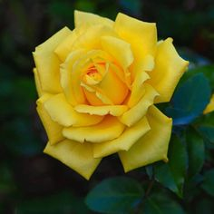 Rose Reference, Most Beautiful Flowers, Mellow Yellow, Yellow Roses, Rose Buds, Flower Power, Bloom, Beauty, Garden Ideas