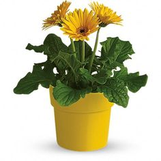 Order Rainbow Rays Potted Gerbera - Yellow from Lacy's Florist, your local Orange florist. For fresh and fast flower delivery throughout Orange, VA area. Flower Pots, Yellow Plants, Flowers Online, Flowers, Gerbera Daisy, Plants, Planting Flowers, Plant Help, Plant Delivery