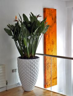 #Strelitzia #reginae with #white #pot