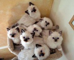 Fluffy cat breeds are some of the most popular, furry cats can be found in white. - Katzen - Fluffy cat breeds are some of the most popular, furry cats can be found in white, black, grey and e - Kittens Cutest, Cats And Kittens, Cute Cats, Siamese Kittens, Ragdoll Cats, Birman Cat, Kittens Meowing, Bengal Cats, White Kittens