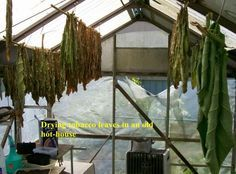 Tobacco Growing and Curing at Home