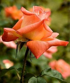 Rose Tattoos, Flower Tattoos, Beautiful Red Roses, Coming Up Roses, Growing Roses, Orange Roses, Floral Photography, Love Rose, All Flowers