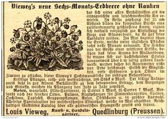 Original-Werbung/ Anzeige 1897 - VIEWEGS SECHS-MONATS- ERDBEERE/ GÄRTNEREI LOUIS VIEWEG - QUEDLINBURG  - ca. 90 x…