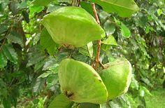 O Cambuci (Campomanesia phaea) que na língua indígena significa pote de cerâmica ou igaçaba é uma das frutas mais interessantes da flora brasileira e homenageado em festas anuais em várias cidades paulistas. Visitar página