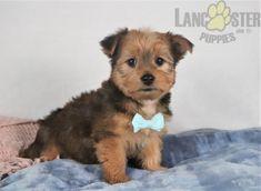 #Morkie #Charming #PinterestPuppies #PuppiesOfPinterest #Puppy #Puppies #Pups #Pup #Funloving #Sweet #PuppyLove #Cute #Cuddly #Adorable #ForTheLoveOfADog #MansBestFriend #Animals #Dog #Pet #Pets #ChildrenFriendly #PuppyandChildren #ChildandPuppy #LancasterPuppies www.LancasterPuppies.com Morkie Puppies For Sale, Lancaster Puppies, Animals Dog, New Adventures, Mans Best Friend, Yorkie, Puppy Love, Pets, Sweet