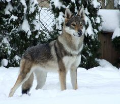 #WellPetsWaltoninGordano  Czechoslovakian Wolfdogs are courageous and fearless, ready for anything. They are lively, active, and purposeful.