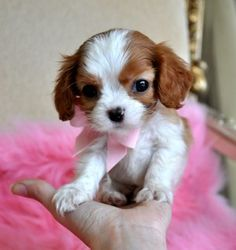 Oh my Mercy, Lord Jesus, help me!!!! Tiny King Charles Spaniel Puppy