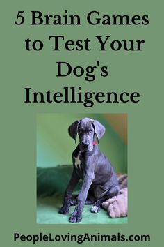 Bored Out of Your Mind? 5 Brain Games to Test Your Dog's Intelligence Dog games, dog intelligence games, dog intelligence test, dog intelligence toys, dog iq test, how smart is your dog, test your dog's iq, Pet Care, Dog Training, Pet Health Dog Training Videos, Training Your Dog, Puppy Toilet Training, Obedience School For Dogs, Puppy House, Puppy Biting, Aggressive Dog, Pet Lovers, Pet Care