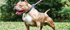 Dit ras is in de 19e eeuw ontstaan en de Amerikaanse Pitbull Terriër werd opgemerkt door hun atletische capaciteiten en hun kracht. Deze rashond werd gebruikt voor de bescherming van erf en baas, voor het bij een drijven van vee en voor het vangen van varkens en half wild vee.